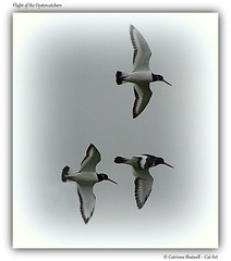 Flight of the Oystercatchers (Cat-Art) Tags: ireland nature oystercatchers irishart irishphotographer imagesofireland irishnature catshatwell catrionashatwell catart doublevisionimagescom shatwellimages flightoftheoystercatchers wwwdoublevisionimageswebscom