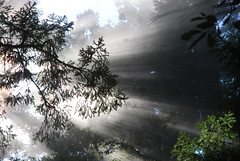 Messages of the Forest (tangent) Tags: california mist redwoodtrees mystic lightbeams myst raysoflight lahonda skylinebvld