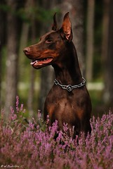 (Liisaz88) Tags: brown chocolate doberman dobermann dobbie dobermanns highqualitydogs