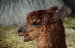 A Pretty Alpaca (henriksundholm.com) Tags: wild portrait eye alpaca animal mouth fur fun nose happy zoo dof sweden bokeh teeth ears laughter sverige hay stable eskilstuna domesticated camelid parkenzoo vicugnapacos