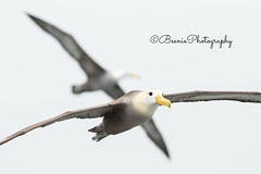 Waved Albatross (Beenie Photography) Tags: waved albatross galapagos islands ecuador espaola birds flight majestic beautiful animal aves