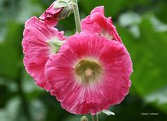 3-IMG_3466 (hemingwayfoto) Tags: alcearosea berggarten blhen blte blume facebookgrus garten hannover natur park pflanze pink stockrose zierpflanze