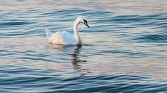 abendbad (maikepiel) Tags: lake water reflections see swan wasser schwan spiegelung