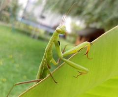 Besucher/Visitor (anitalemmert) Tags: gottesanbeterin garten garden green grn insekt samsung handy mobile sommer summer
