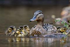 Mallard (Simon Stobart (back but busy)) Tags: mallard female ducklings water river swimming northeastengland