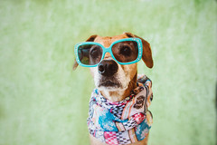 hollywood glamour (Le Howl Studio) Tags: dog hound doginglasses petphotographer dogphotographer lehowl glamourdog