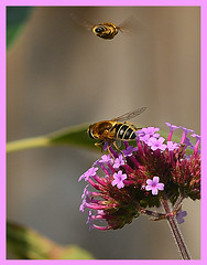 Pretty in Pink......... (Greywolf907) Tags: flower pink color colour hoverfly insects wildlife countryside nature wings nikon nikond7100 sigma105mm
