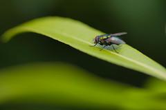 DSC_0323 (peterrobinson5) Tags: green fly common bottle phaenicia sericata d7200 bokeh nikon tokina atx m100 pro d 100mm f28 macro