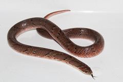 Lystrophis nattereri (Albedi Junior) Tags: reptile repteis nature natureza natgeo snake animal wildlife wildelife widelife cerrado savana serpentes matogrosso brazil brasil braziliam