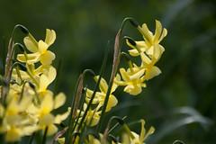 ckuchem-0587 (christine_kuchem) Tags: narzissen frhling frhjahr gelb blte frhjahrsblher februar frhblhend naturgarten garten naturnah natrlich