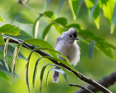 Tufted and fluffed... (knoxnc) Tags: wildbirds walnuttree summer nikon depthoffield d7200 nature tuftedtitmouse fluffed