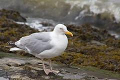 Mwe (sterreich_ungern) Tags: seagull mwe north sea brandung bird animal nature