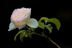 White Rose - Rose blanche (Sbastien Vermande) Tags: canon7d france midipyrnes lot bokeh flower fleur rose spring printemps macrophotography macrolens macrophotographie sigma150mm28exdg sigmaapoteleconverter14xexdg vermande blackbackground fondnoir