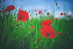 serene (Smo_Q) Tags: poland field poppies pentaxk3ii