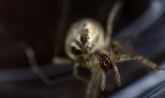spider 030 (jim w-y) Tags: spider longlegs 8legs web shed