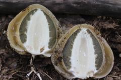 Phallus duplicatus / Satyre  dentelle (Joseph Nuzzolese) Tags: phallus duplicatus satyre  dentelle