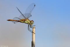 Red-veined darter (Hugo Areal) Tags: dragonfly insect odonata nomad liblula inseto libellules libelinha rnet tejoriver riotejo tagusestuarynaturalreserve reservanaturaldoesturiodotejo lezriagrande vilafrancadexira redveineddarter sympetrumfonscolombii