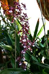Oncidium Sharry Baby hybrid orchid 7-16 (nolehace) Tags: oncidium sharry baby hybrid orchid 716 summer nolehace sanfrancisco fz1000 flower bloom plant