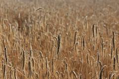 Summer (Michael.Kemper) Tags: canoneos6d canonef2470f4lisusm canon eos 6d ef 2470 f4l is usm deutschland germany hessen hesse kellerwald edersee weizen weizenfeld korn kornfeld wheat field wheatfield cornfield sommer summer kirchlotheim makro macro