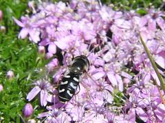 Witte halvemaanzweefvlieg (Scaeva pyrastri) (Frank Berbers) Tags: insect diptera tweevleugeligen syrphidae zweefvlieg schwebfliege hoverfly halvemaanzweefvlieg wittehalvemaanzweefvlieg scaevapyrastri halvemaanzwever scaeva sptegrosstirnschwebfliege halbmondschwebfliege piedhoverfly  zwitserland schweiz suisse zwitserland2016 bettmeralp