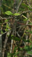 IMG_7125.JPG (Álvaro Cortés Grande) Tags: libelula animal insecto canon g7x poweshot