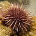 Common crawler - Purple urchin - Heliocidaris erythrogramma #marineexplorer