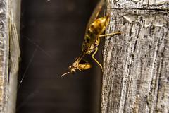 INSECTOS EN EL JARDN (lourdestorreira) Tags: insectos mariposas abejas abejorro primavera natural color voladores belleza fragilidad plantas flores