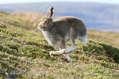 Mountain Hare Scottish Highlands (Ally.Kemp) Tags: mountain hare autumn scotland scottish highlands wild wildlife lepus timidus running