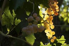 IMG_8513 (alessandroromanini) Tags: vineyard grapes nature uva vigneti