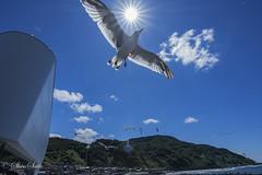 Black-tailed gull flying (shin4433) Tags: blacktailed gull flying nikon d500 sky sun tokina atx 1120mm f28 pro dx
