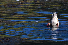 Bottoms Up! (RPahre) Tags: duck da nationalelkrefuge jacksonhole wyoming