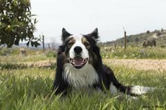 riu (Sobrino de Murphy) Tags: perros dogs chiens canne gos bordercollie