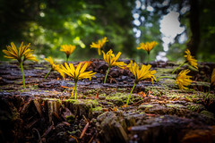 Yellow wild flowers growing on a wood trunk covered by moss in forest (Thomas Alexander Nagy) Tags: abstract background black bloom blur bright bunch closeup color day energy flora floral flower flowers foliage forest fragility fresh grass green landscaping leaves life light macro moss mountain natural nobody outdoor petal plants rays season shadows still summer sun sunlight sunny trees trunk vibrant wild wood wooden woods yellow