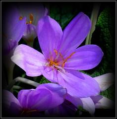 Natural Wonder (dimaruss34) Tags: newyork brooklyn dmitriyfomenko image flower crocus autumncrocus
