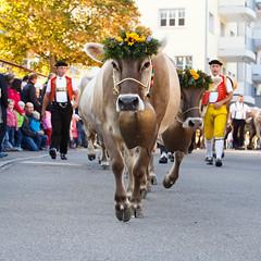 Almabtrieb (Harald Schnitzler) Tags: oberegg appenzellinnerrhoden schweiz ch viehschau almabtrieb kuh cow celebration traditions tradition celebrations appenzell strasse vieh landwirtschaft cattle agriculture farming