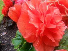 Flowers Summer 2012 (westy76) Tags: flowers kingscollegelondon guyshospital flickrandroidapp:filter=none
