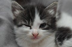 20120710 Kitten Winking 005 by cygnus921, on Flickr