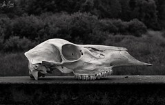 Fighter leaving the alien ship (Dennis Cluth) Tags: art skull fly nikon michigan monotone deer