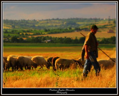 shepherd (V Bogdan) Tags: light camp sun field evening sheep shepherd hills romania pastor oi prahova lumina soare dealuri seara mygearandme