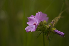 Wild Flower (Chris McLoughlin) Tags: macro 50mm wildflower brockadale chrismcloughlin