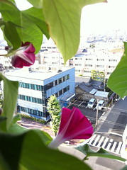 120704 (igasika) Tags: morning pink summer glory