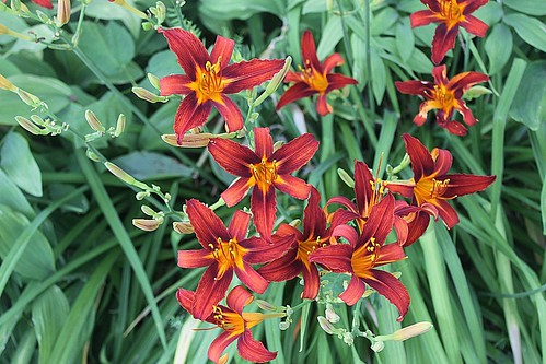 Lots Of Paprika Velvet Daylilies In Shade Garden