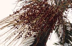 IMG_1398 (indikaparane) Tags: flowers nature kit srilanka lense 18135 araliya canon600d