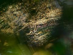 nearly gone (pete ware) Tags: macro insect spider heart legs web silk diffraction nikond7000 darlandbanksnaturereserve peteware tokinaf28100mmatxprod