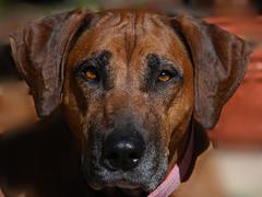 Coco the Ridgeback (Elise Arod) Tags: portrait dog pet face animal eyes ridgeback liondog bigdog smrgsbord mygearandme