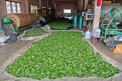 Drying Freshly-Picked Tea Leaves, 101 Tea Plantation, Doi Mae Salong (adventurocity) Tags: travel vacation green tourism thailand roc photography photo photographer tea chinese picture taiwan visit tourist traveller adventure plantation visitor teaplantation goldentriangle chiangrai traveler oolong kmt kuomintang republicofchina maesalong doimaesalong แม่สลอง maefaluang 93rddivision santikhiri สันติคีรี 101teaplantation daenlaorange