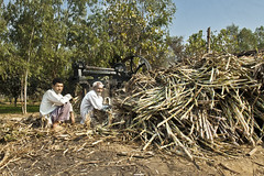 Making Gur In India - Photo 3 - Feeding the cane (Anoop Negi) Tags: india industry cane drive village power juice sugar indie uttaranchal press indien artisan inde pradesh uttar  gur  jaggery ndia rotory unrefined  uttarakhand   intia  n   anoopnegi     chhutmalpur  ndia n indi
