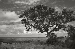 Tree Marsh Sky (frntprchprss) Tags: sky blackandwhite tree duck northcarolina marsh outerbanks