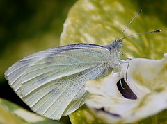 Cabbage White Butterfly. Panasonic G2 + Tokina SZ-X 60-300mm (Sang3eta) Tags: white butterfly lumix panasonic tokina 300mm cabbage g2 600mm sxz 60300mm szx dmcg2