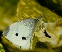 Cabbage White Butterfly. Panasonic G2 + Tokina SZ-X 60-300mm (Sang3eta) Tags: white butterfly lumix panasonic tokina 300mm cabbage g2 600mm 60300mm szx dmcg2